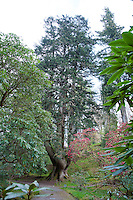 Champion tree. Abies alba, Silver fir at Ardkinglas Woodland garden, Cairndow, Argyll.