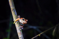 Frog in the Choco Rainforest at night, Ecuador. This area of jungle is the Mashpi Cloud Forest in the Pichincha Province of Ecuador, South America