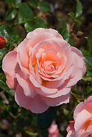 Rosa Sexy Rexy = Macrexy (F) (AGM) pink roses