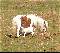 """BNPS.co.uk (01202 558833).Pic: Georgina Hirst/BNPS..***Please use full byline***..This Shetland pony must have gone baa-my - after it adopted an orphaned lamb...Despite having a young foal of its own, the mother pony allowed the lamb to feed from it and even stood watch over her new family member at night...The odd couple forged their unlikely friendship in the Black Mountains in Wales, where more than 2,000 sheep and around 60 horses roam...Horserider Georgina Hirst did a double take when she spotted the pair feeding while out riding...Georgina, 29, an equine vet from Hay on the Wye, said: """"I was out riding one day and I spotted a baby lamb feeding...""""The first time I saw it I couldn't quite believe it - I thought I might be imagining it...""""But then I saw it again and again over the space of about a week...""""It seemed the Shetland mare had adopted the orphaned lamb and was letting it feed from her.."""