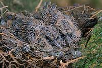Rolinha faz seu ninho em mangueira na região metropolitana da cidade.<br /> <br /> Columbina picui Tem., chamado popularmente de rola-pajeú, rola-de-são-josé1 , rolinha-picui e rolinha-branca, é uma espécie de ave da família Columbidae. Pode ser encontrada nos seguintes países: Argentina, Bolívia, Brasil, Chile, Colômbia, Paraguai, Peru e Uruguai. Os seus habitat naturais são: matagal árido tropical ou subtropical, matagal úmido tropical ou subtropical, matagal tropical ou subtropical de alta altitude e florestas secundárias altamente degradadas..<br /> Belém, Pará, Brasil.<br /> Foto Carlos Borges