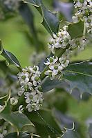 Gewöhnliche Stechpalme, Stech-Palme, Hülse, Blüten, Ilex aquifolium, Common Holly, Houx commun