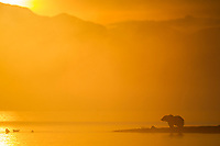 Brown bear along the shore of Naknek lake as the morning sun attempts to burn off the fog over the water, Katmai National Park, southwest, Alaska.