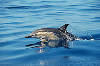short-beaked common dolphin, Delphinus delphis, New Zealand, Pacific Ocean