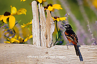 """01618-00404 Orchard Oriole (Icterus spurius) male on fence near Black-eyed Susans (Rudbeckia hirta """"Indian Summer"""")  Marion Co.  IL"""