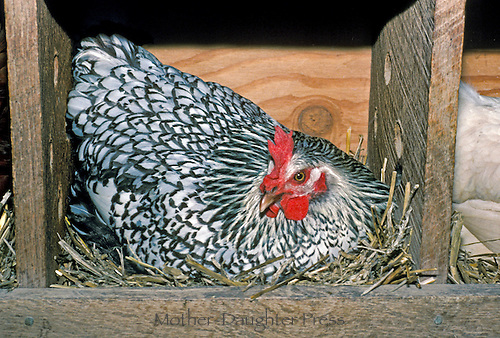 Silver laced Wyandotte hen in chicken coop laying box, family chickens, Vermont