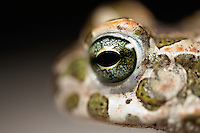Pseudepidalea viridis, Green toad, Gornje Podunavlje Special Nature Reserve, Serbia