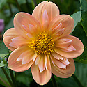 Dahlia 'Carreg Cyril's Girl', mid August.