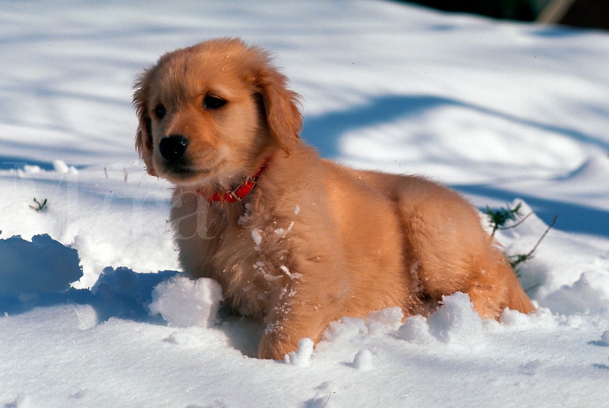 A Golden Retriever puppy in the snow.
