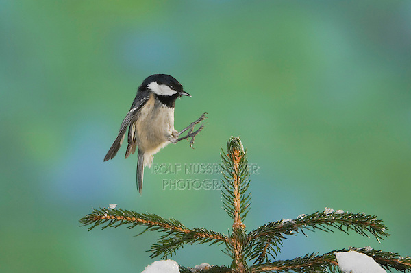 Coal Tit, Parus ater, adult in flight landing on sprouse top with snow, Oberaegeri, Switzerland, Europe