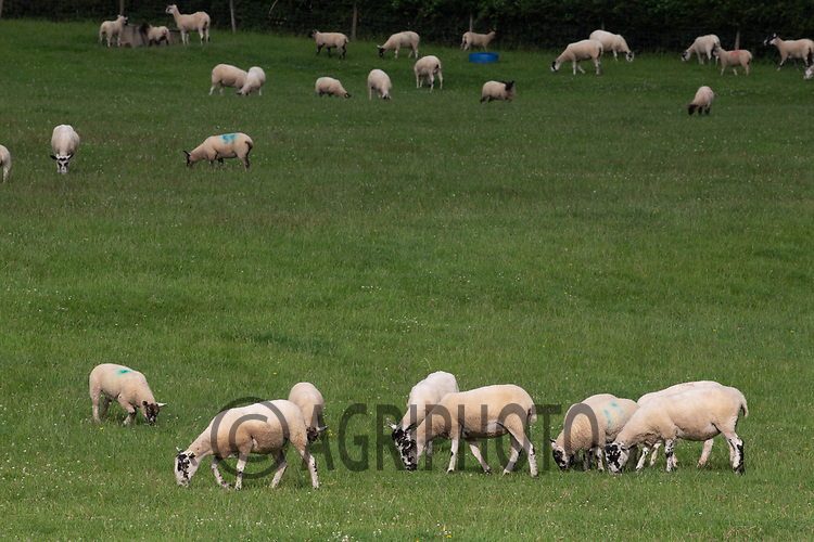 20.6.2020 Ewes and Lambs grazing  <br /> ©Tim Scrivener Photographer 07850 303986<br />      ....Covering Agriculture In The UK.