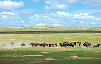 A herd of bison roam the grasslands near Box Elder Crossing on the American Prairie Reserve in southern Philips County.