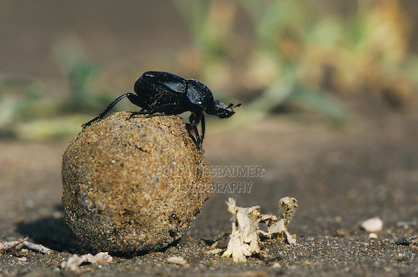 Dung Beetle, Scarabaeinae, adult on dung ball, Starr County, Rio Grande Valley, Texas, USA, May 2002