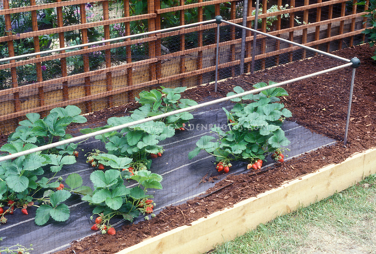 Keeping critters away from garden strawberry plants with protective structure, preventing animals such as rabbits, dogs, raccoons, deer, from destroying vegetables and fruits