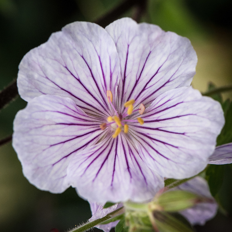 Geranium himalayense 'Derrick Cook'. Originally from Nepal and named for the man who discovered it in 1984, this hardy geranium has large saucer-shaped white flowers delicately veined with purple on thin stems. Blooms June–July.