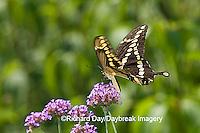 03017-00810 Giant Swallowtail (Papilio cresphontes) on Brazliian Verbena (Verbena bonariensis) Marion Co.  IL