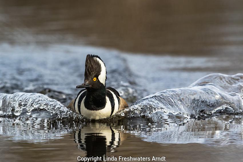 Drake hooded merganser swimming in a northern Wisconsin wilderness lake