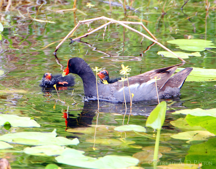 Common gallinule with newly hatched babies