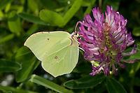 Zitronenfalter, Zitronen-Falter, Gonepteryx rhamni, Blütenbesuch und Bestäubung, saugt Nektar an Klee, brimstone