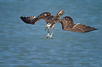 Osprey diving for fish.