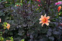 Dahlia variabilis Bishops Children, with dark purple black foliage laves, orange flowers