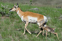 Pronghorn Antelope (Antiloapra americana) doe with young fawn.  Western U.S., June.
