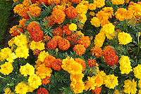Marigold Annual Flowers Stock Photos