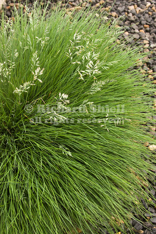 FESTUCA FILIFORMIS, FINE LEAF SHEEP FESCUE