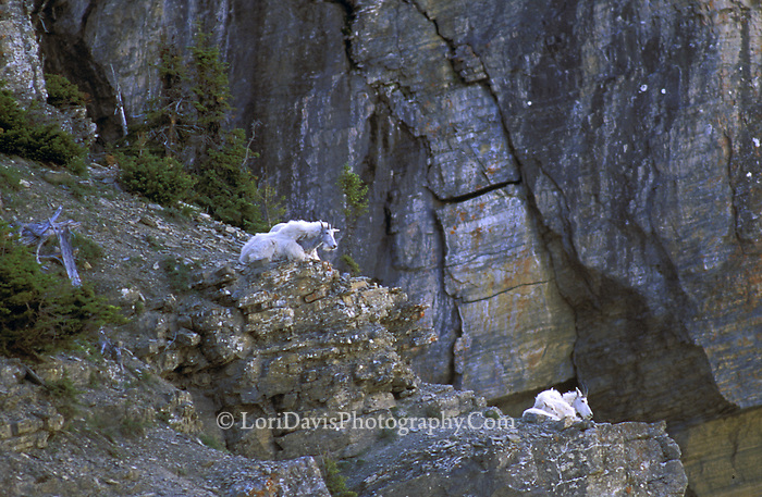 Mt Goat family on ledge  #G1