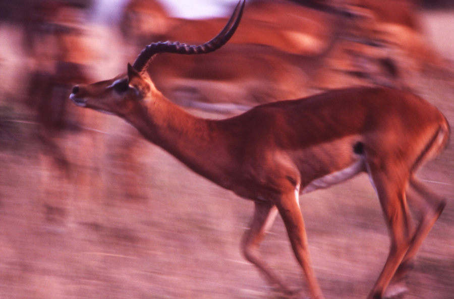 African wildlife in Samburu, Kenya, gazelle, Impala