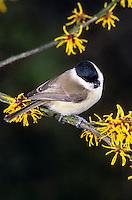 Sumpfmeise, Sumpf-Meise, Meise, Poecile palustris, Parus palustris, marsh tit