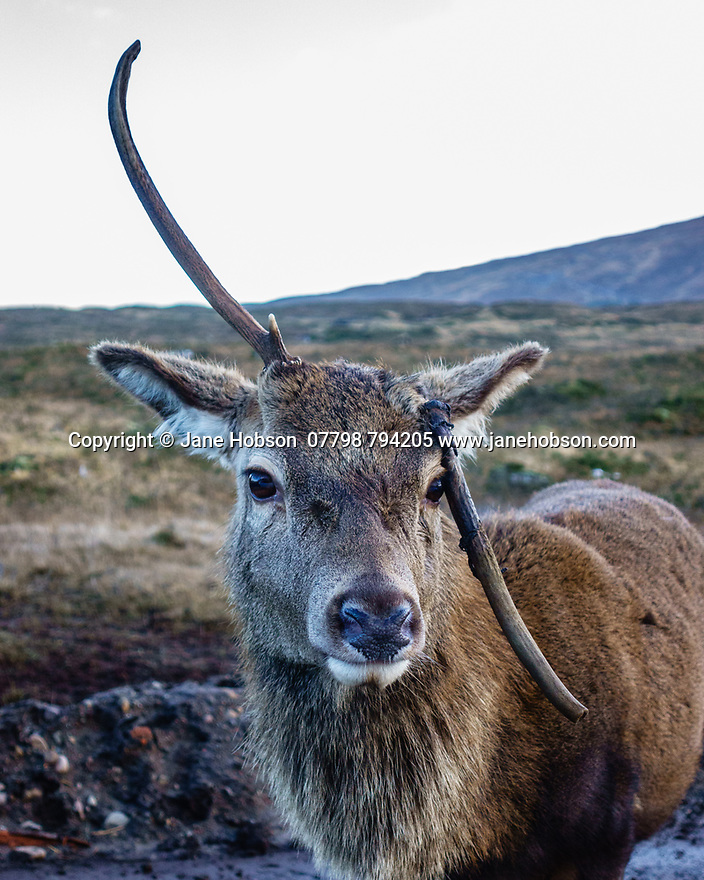 Scotland, UK. 08.01.2019. A deer with a broken left antler, by the Kings House Hotel, Glen Etive, Highlands, Scotland. Photograph © Jane Hobson.