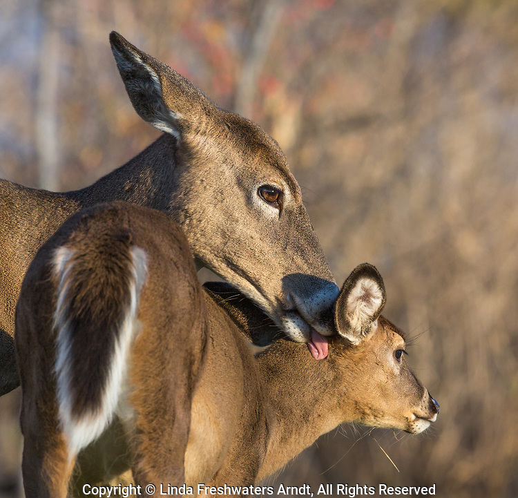 White-tailed doe grooming her fawn.