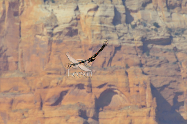 California Condor (Gymnogyps californianus) flying near the Vermillion Cliffs, eastern end of Grand Canyon National Park, Arizona.