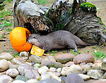 ..ZSL Whipsnade Zoo's animals are tucking into Halloween-inspired treats this week as they join in with the spooky festivities... the oriental small-clawed otters are sinking their claws into Jack O'Lanterns filled with muscles and other fishy treats