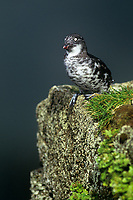 506760331 a wild least auklet aethia pusilla perches on a cliff face on saint george in the pribilof islands in southeast alaska