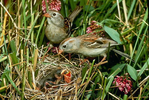 Field sparrow mates with two hungry babies in nest among grass and clover, Midwest USA