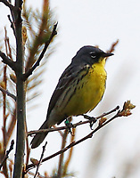 Adult male Kirtland's warbler