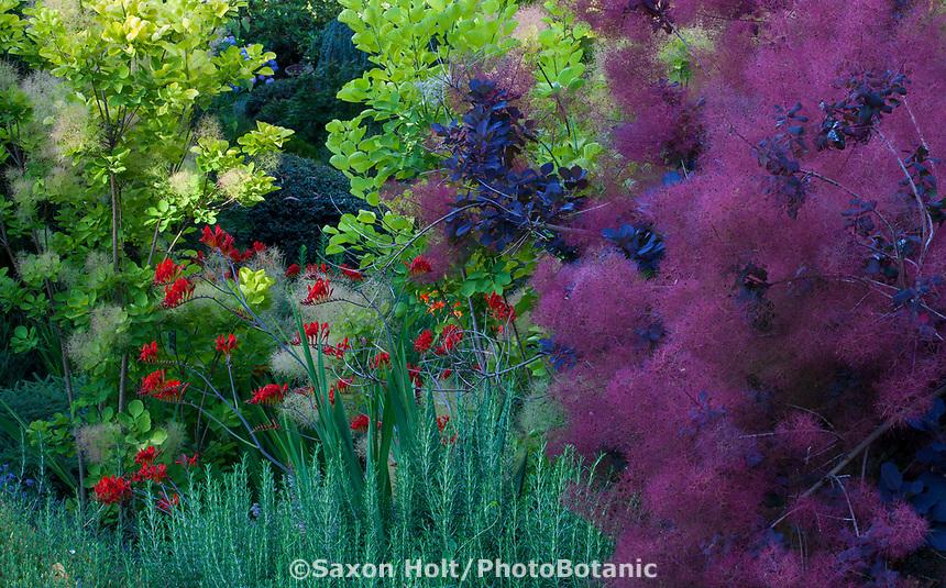 Crocosmia 'Lucifer', Cotinus coggygria 'Grace' (Smoke Bush) mixed border in Albers Vista Gardens