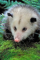VIRGINIA OPOSSUM..Pacific Northwest, North America..Summer. (Didelphis virginiana).