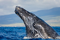 humpback whale, Megaptera novaeangliae, breaching, AuAu Channel between Maui and Lanai, Hawaii, USA, Pacific Ocean