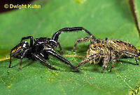 JS01-136x  Jumping Spider - male (L) courting female (R) -  Phidippus clarus