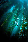 Bladder kelp forrests underwater at the Channel Islands National Marine Sanctuary, California