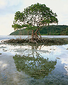 Mangrove Tree &amp; Reflection,<br />