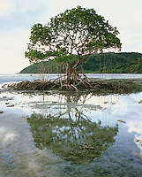 Mangrove Tree & Reflection,<br />