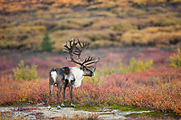 Bull caribou in velvet antlers stands in the colorful autumn tundra in Denali National Park.