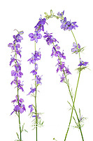 30099-00609 Tall Blue Larkspur (Delphinium exaltatum) (high key white background) Marion Co. IL