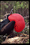 male frigate bird,