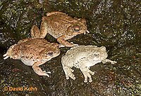 1124-0801  One Gray Tree Frog (Hyla versicolor) with Two  Red-spotted Toads (Bufo punctatus) © David Kuhn/Dwight Kuhn Photography