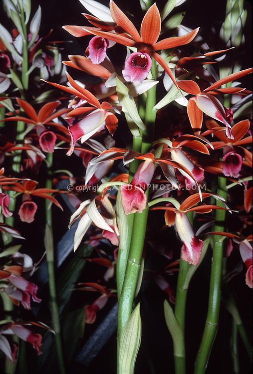 Phaius tankervilleae aka Phaius tancarvilleae, Nun's Hood Orchid, species, terrestrial